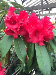 Rhododendron Grace Seabrook