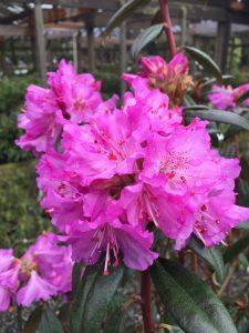 Rhododendron rubinigosum
