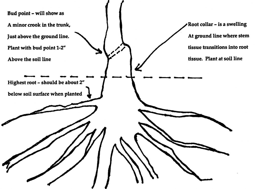 bare root diagram