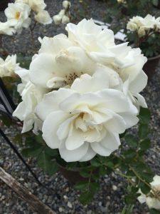 Climbing Rose Lace Cascade