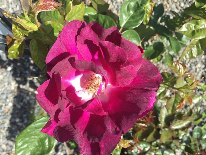 'Night Owl' Climbing Rose