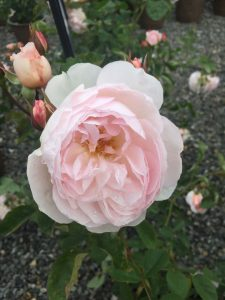 English Rose Gentle Hermoine