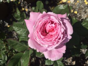 'Summer Romance' Floribunda