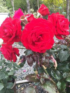 Floribunda 'Drop Dead Red'