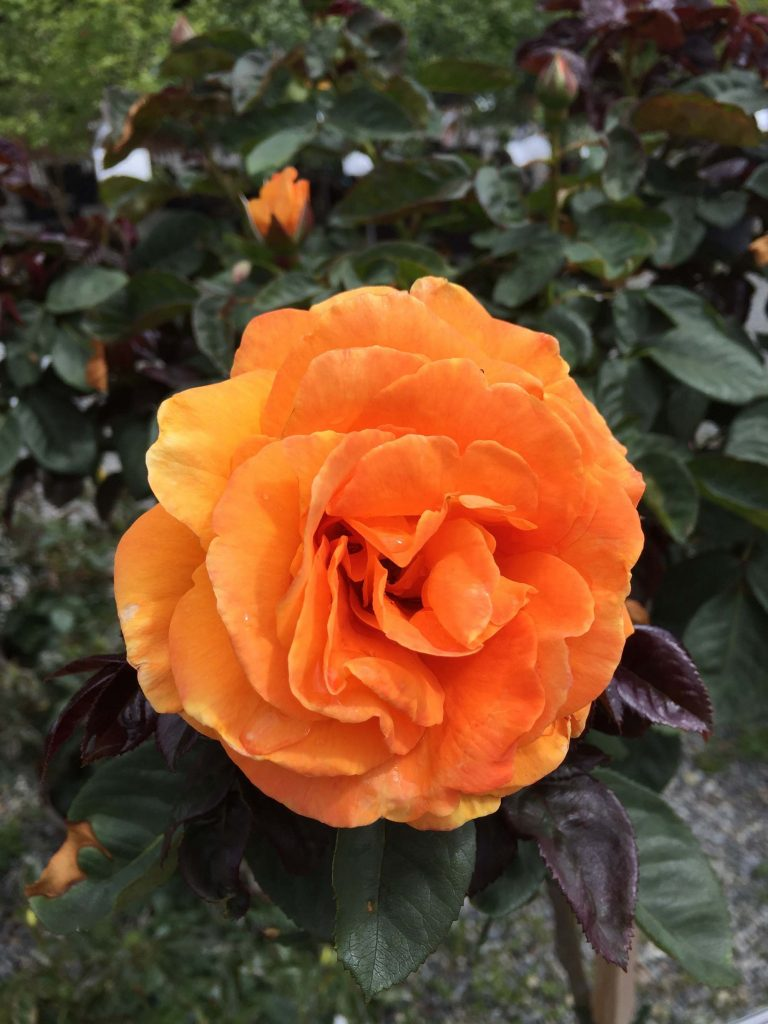 Floribunda Tree Rose Vavoom