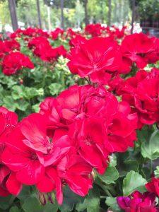Geranium Calliope Medium Dark Red