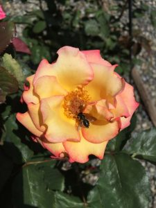'Dream Come True' Hybrid Tea