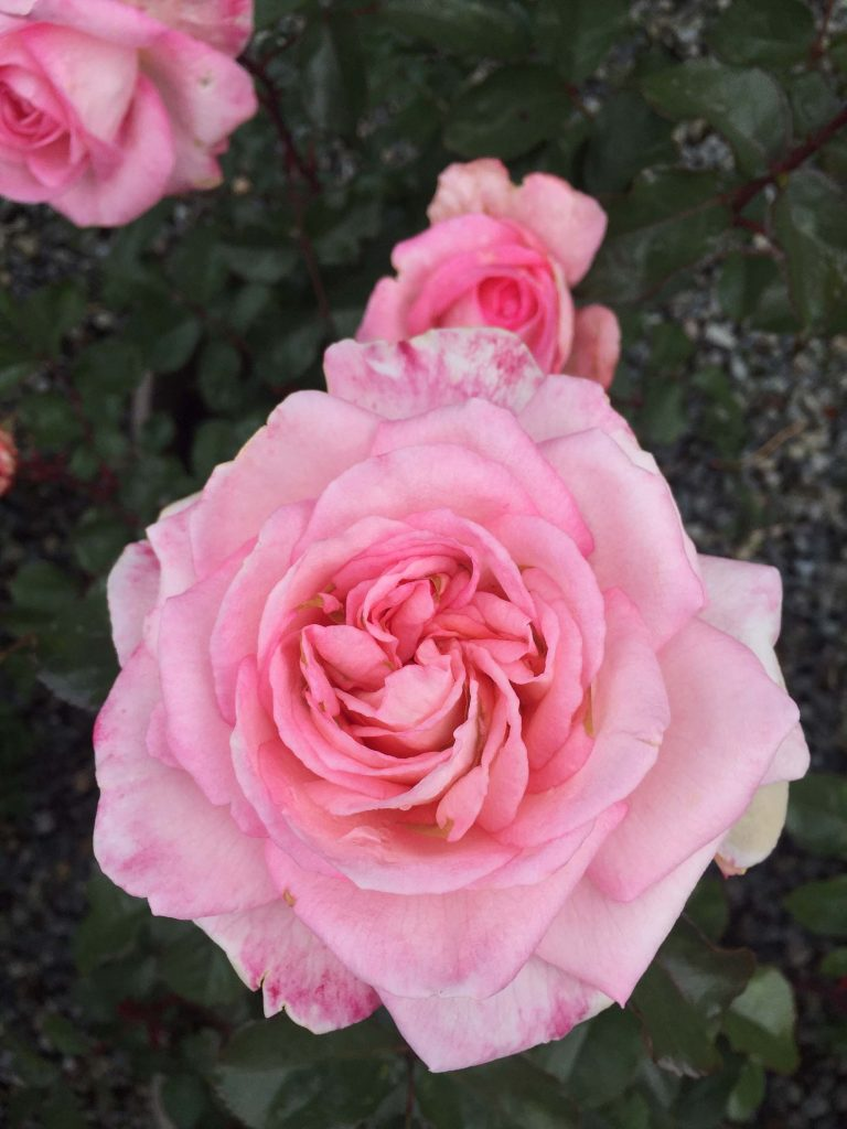 Hybrid Tea 'Savannah'