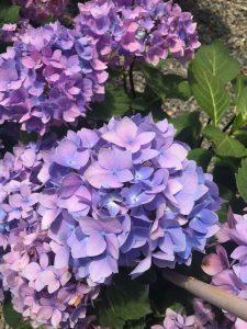 Hydrangea macrophylla Blue Enchantress