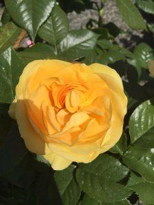 Julia Child tree rose