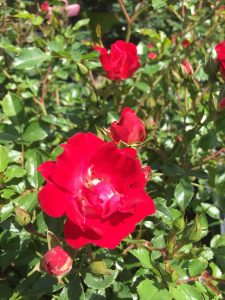 Red Drift shrub rose
