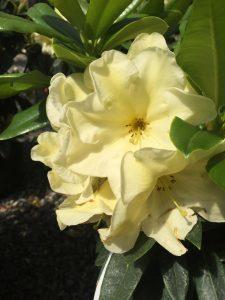 Rhododendron Karen Triplett