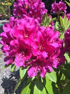 Rhododendron Polarnacht
