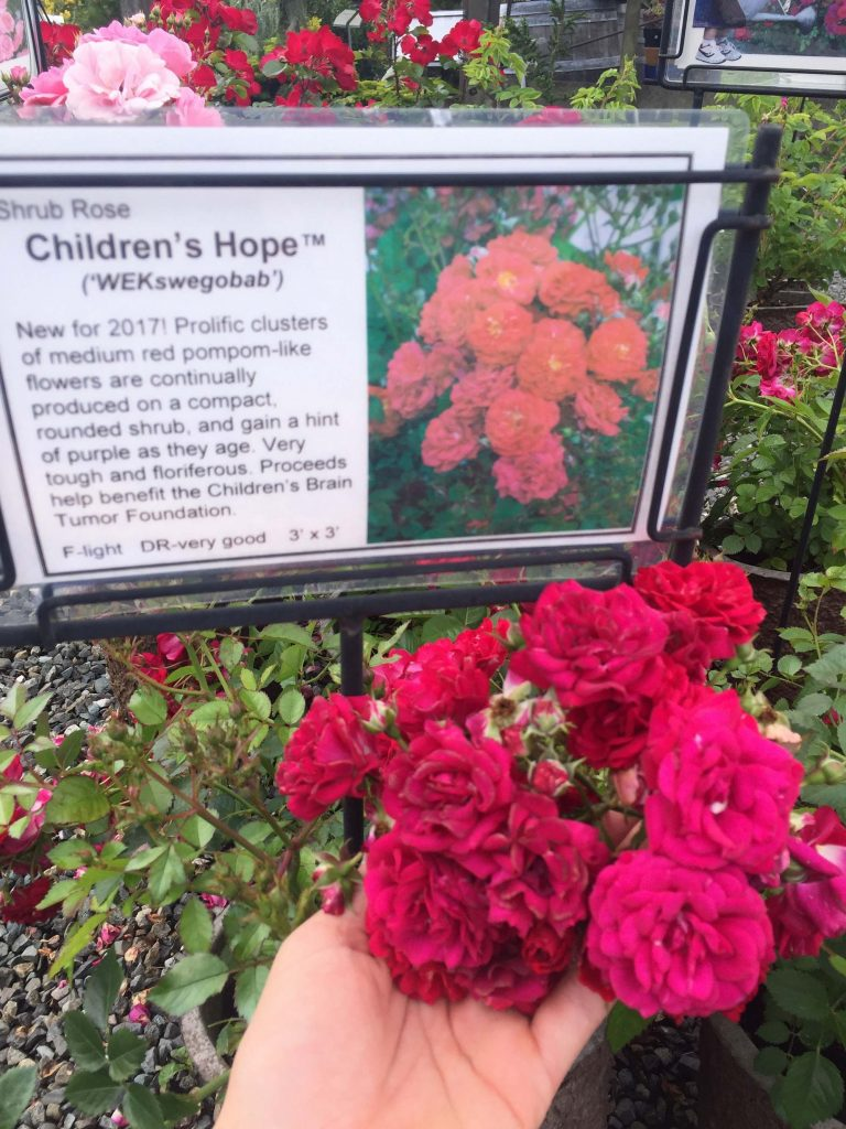 Shrub Rose Children's Hope