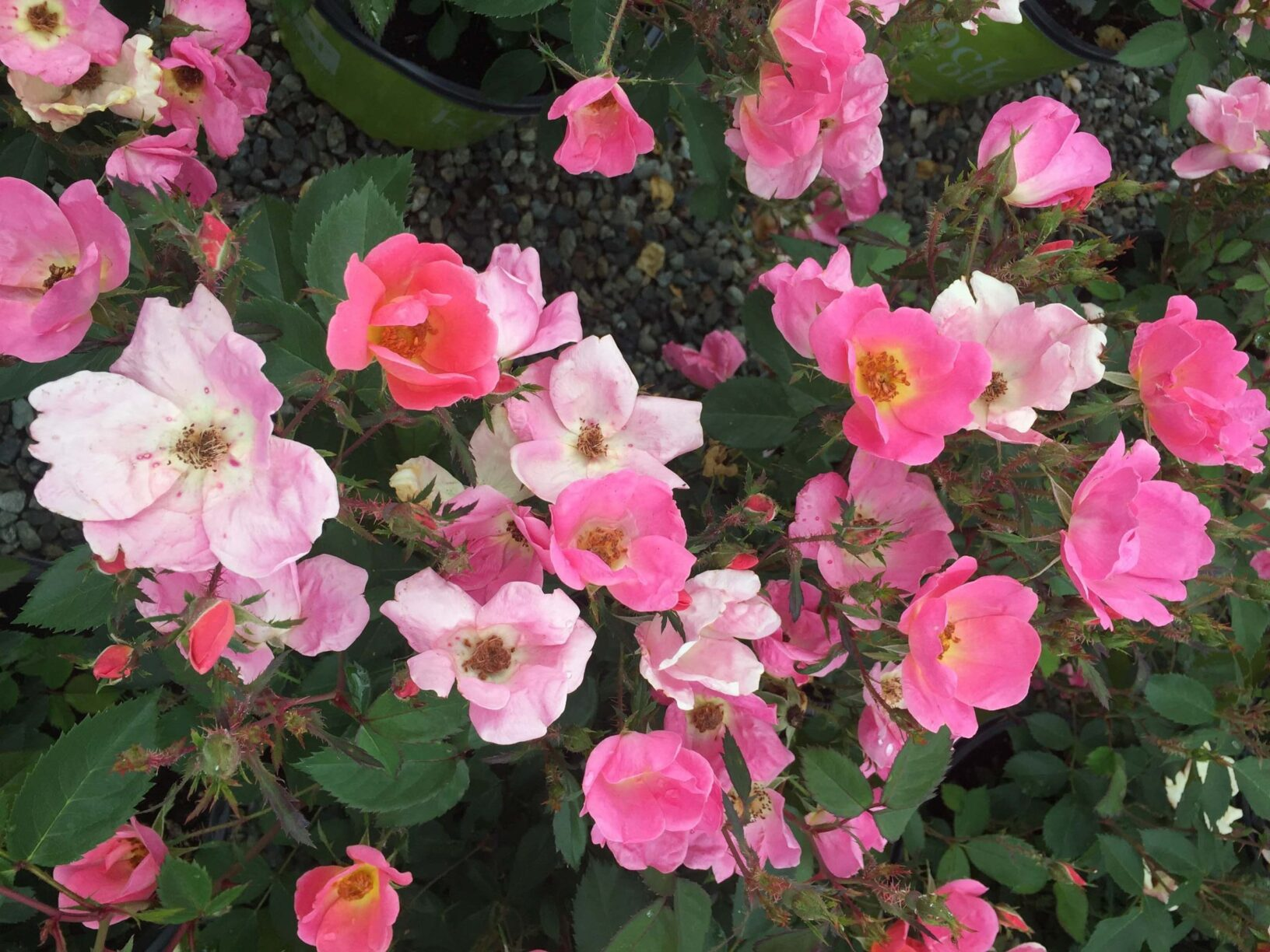 Shrub Rose Rainbow Knock Out