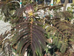 Albizia julibrissin 'Chocolate Fountain'