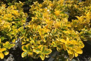 Euonymus japonica Aureo-marginata