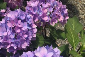 Hydrangea macrophylla Blue Enchantress