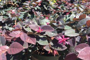 Loropetalum chinense Sizzling Pink