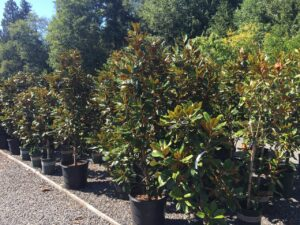 Magnolia grandiflora 'Baby Grand' 'Little Gem' and 'Southern Charm'