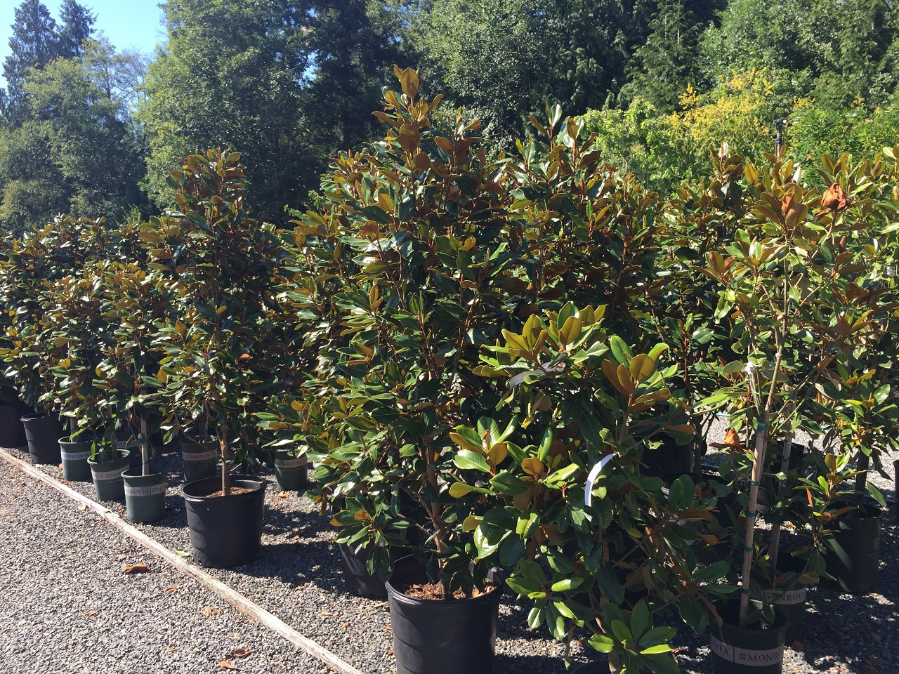 Magnolia Grandiflora Baby Grand Little Gem And Southern Charm