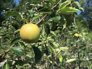 Malus 'Goldrush' Apple