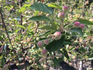 Malus 'Adirondack' Flowering Crabapple
