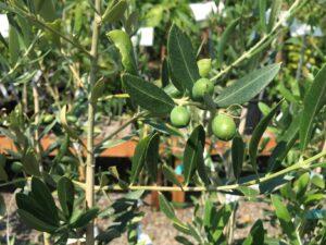 Olea Europeana 'Black Pearl' Olive
