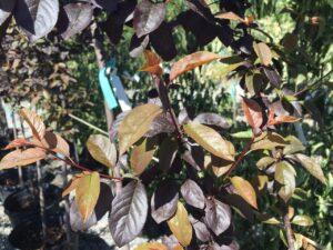 Prunus ceracifera 'Thundercloud'