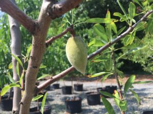 Prunus dulcis 'Seaside' Almond