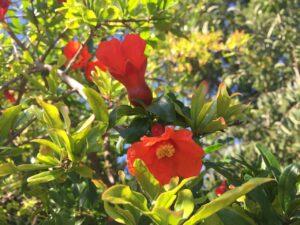 Punica Granatum 'Wonderful'