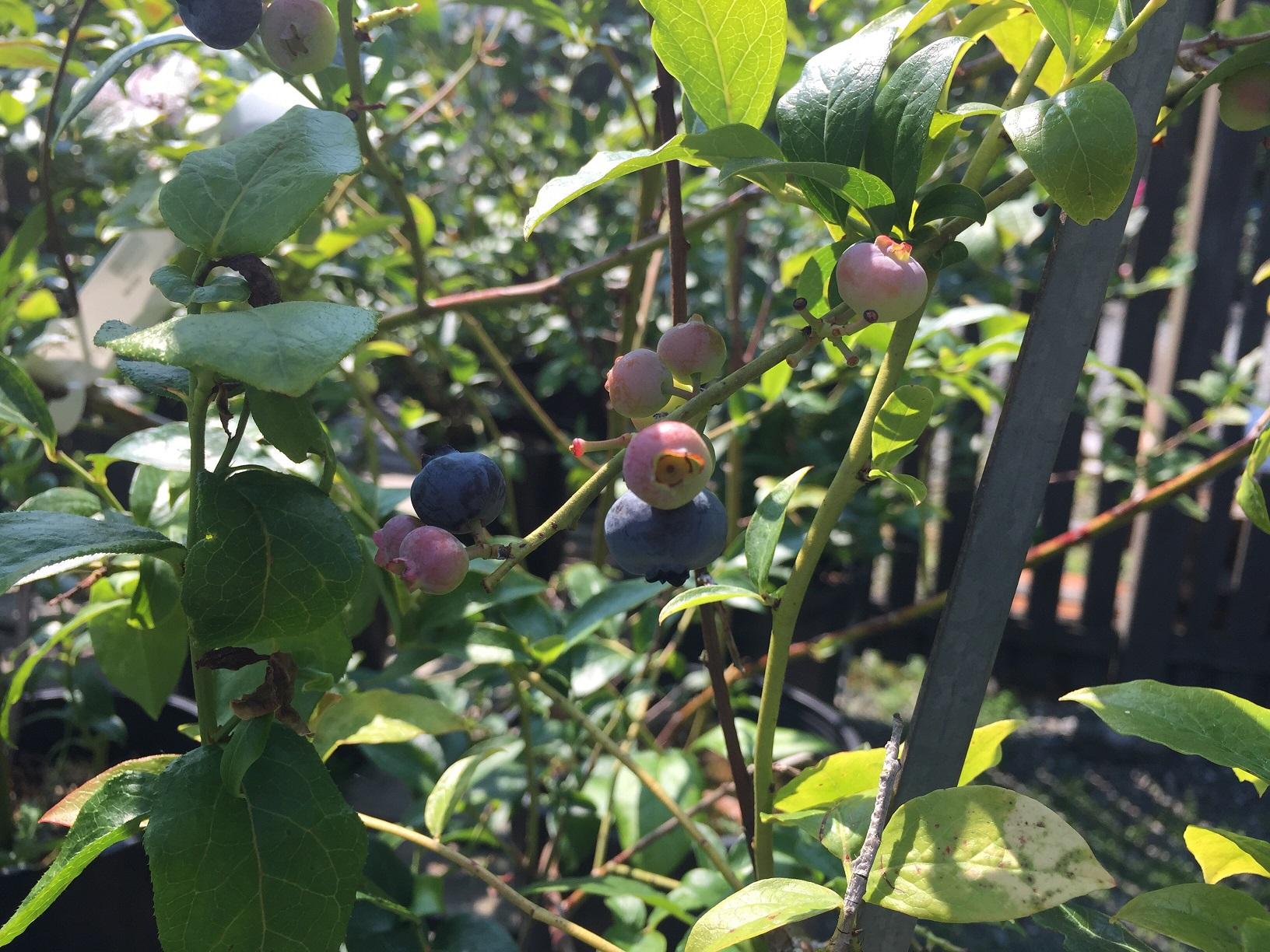 Vaccinium corymbosum 'Blueray' Northern Highbush Blueberry