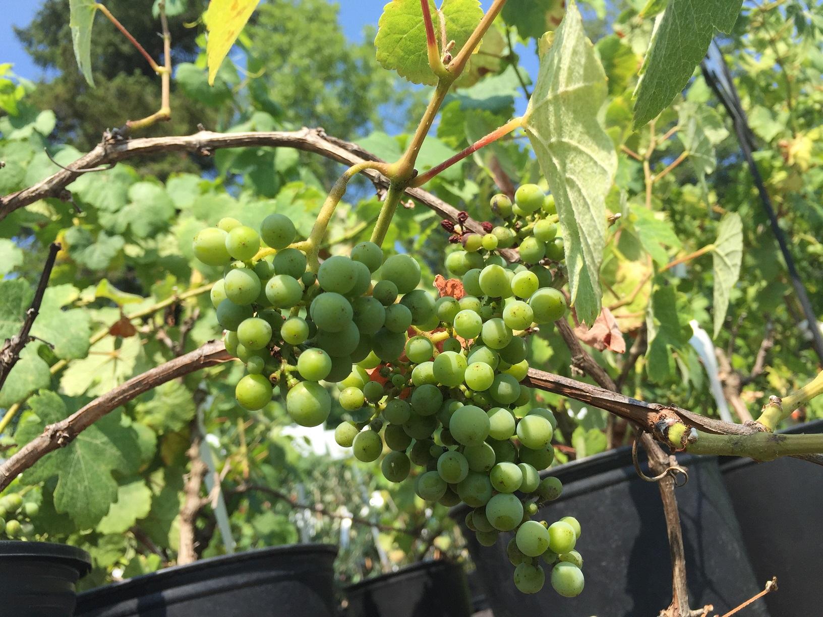 Vitis 'Gewurztraminer 04' Wine Grape