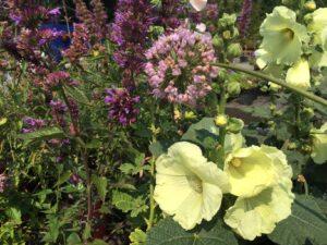 Alcea 'Sunshine' and Allium 'Pink Planet'