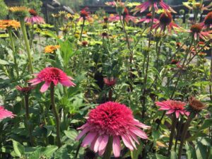 Echinacea 'Supreme Elegance'