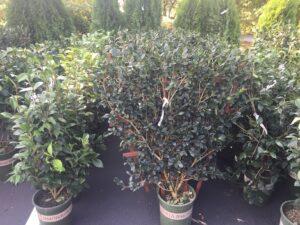 Espalier and shrub form camellias
