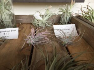 Gardneri air plants