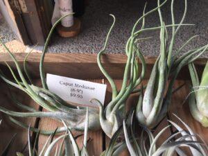 Medusae air plant