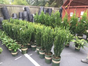 Taxus and Cephalotaxus