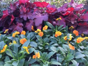Violas and Dolce Creme Brulee Heuchera