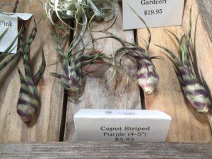 caput striped purple air plant