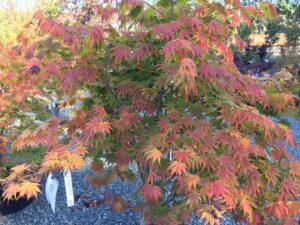Acer palmatum 'Festival'