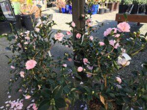 Camellia sasanquah 'Jean May'
