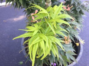 acer palmatum mikawa yatsbushi