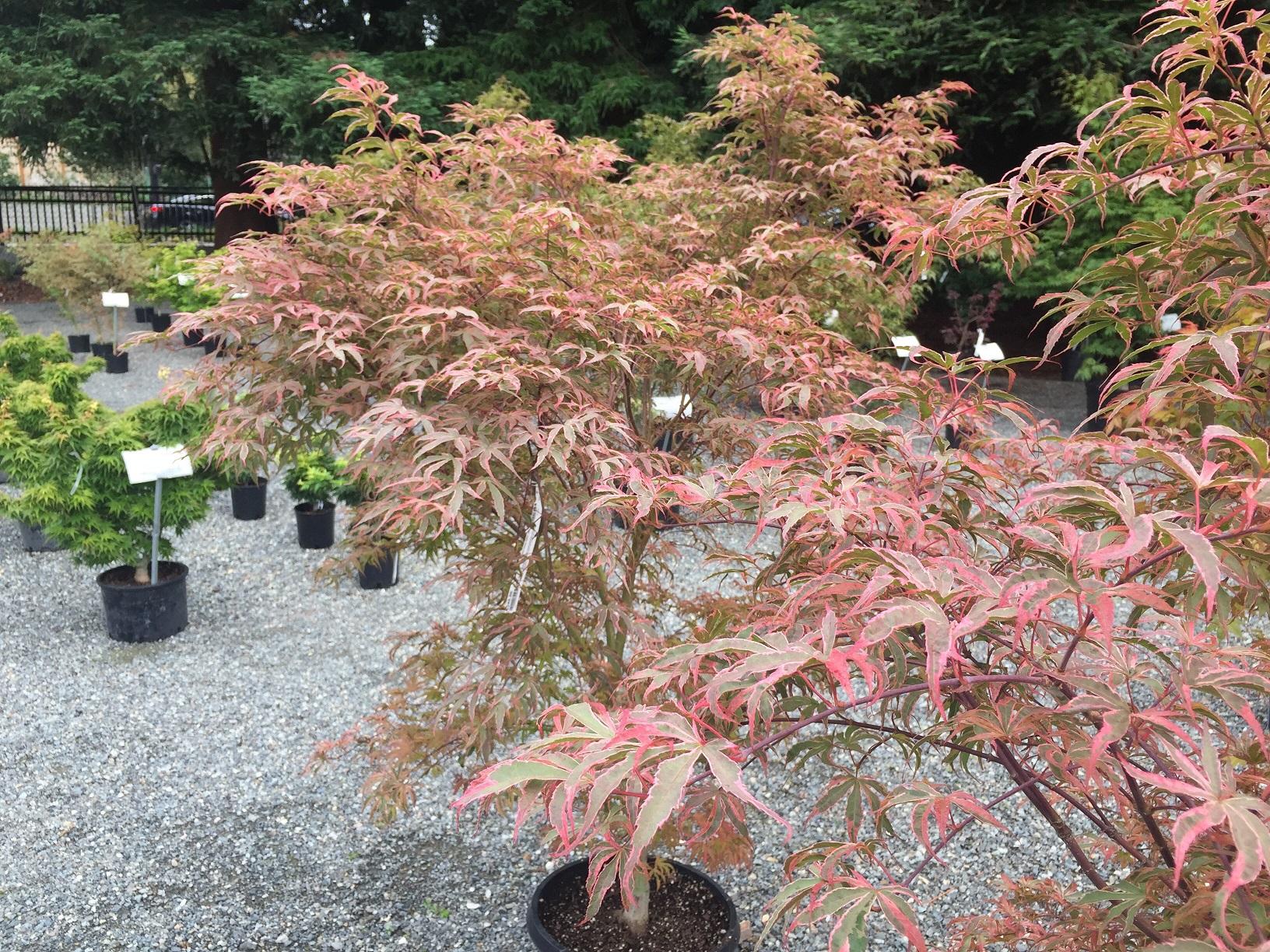 Japanese Maples Wells Medina Nursery