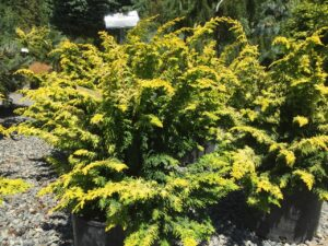 Chamaecyparis obtusa Fernspray Gold