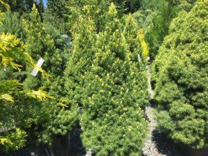 Picea glauca Conica Aurea