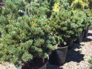 Pinus parviflora Myoi