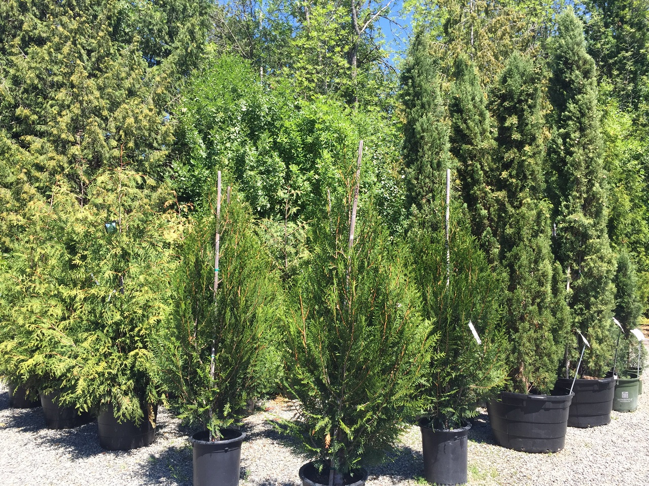 Western Red Cedars and Italian Cypress